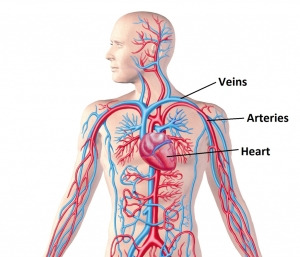 Label Circulatory System Picture Of A Circulatory System With Labels Human Body Diagram